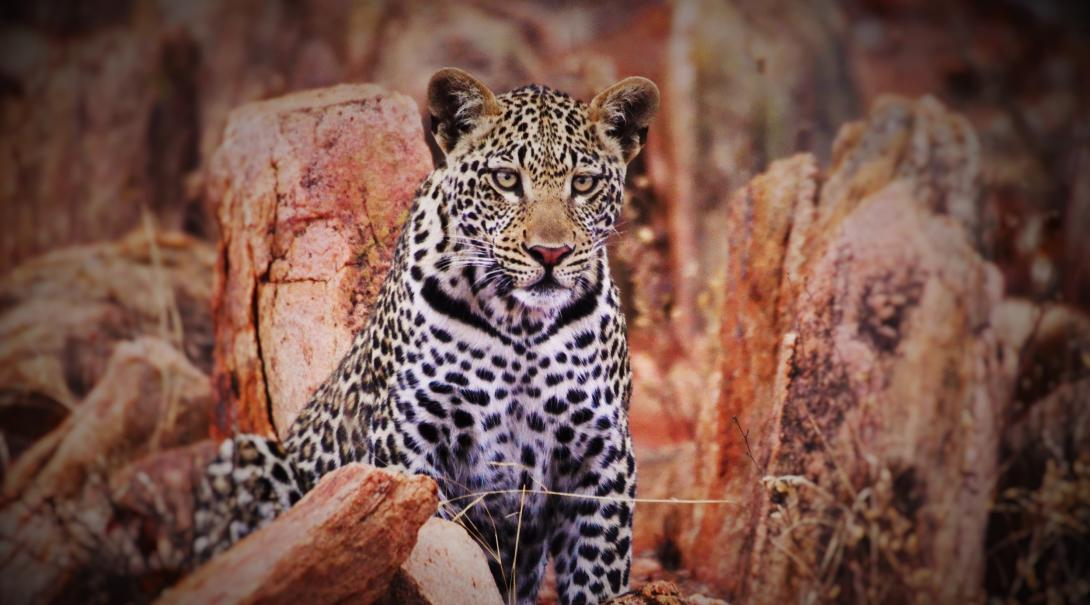 Leopard spotted at our Animal Conservation project in Botswana.